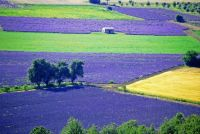 Fields of Gold and Purple Between Sault and Aurel, Vaucluse, France