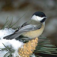 MY FAVOURITE BIRD THE CHICKADEE