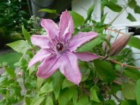 Clematis last year