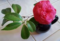 Camilla Blossom