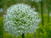 Allium Hybride 'Mount Everest'