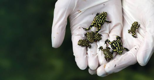 Southern corroberee frogs