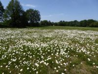 Winterswijk. A grassland full of field daisies (gewone Margriet)