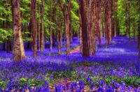 Zillions-of-bluebells-form-a-carpet-in-the-woods