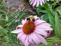 Bumblebee on cone flower by Diane Davidson