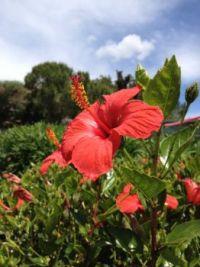 A beautiful Hibiscus !
