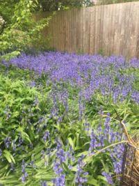 A few bluebells