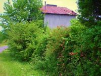 A rambling rose volunteers at the old tobacco barn. . .