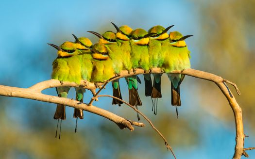Bee eaters together by Gary Meredith