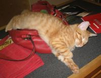 Opie likes to sleep in my purse