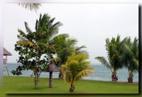Young coconut palms by the sea