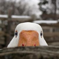 The AFLAC duck watches over you