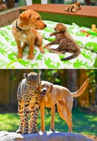 Then and Now - Kasi the Cheetah and Mtanai the Labrador