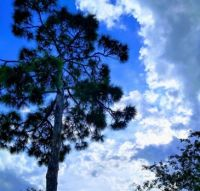 Florida Pine Tree in the Clouds