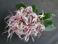 Cape Chestnut flower