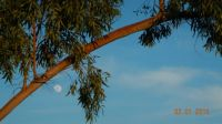 Moon and eucalyptus tree