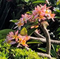 Plumeria in Bloom