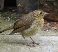Juvenile Robin looking very smart.