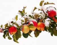 Apples in the Snow