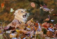 lion cub in leaves