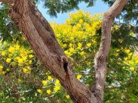 veeshaped tree with yellow blosssoms