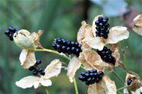 Blackberry Lilies
