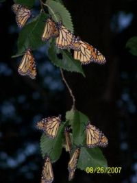 monarchs on one of our elms