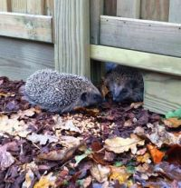 Hedgehogs at home