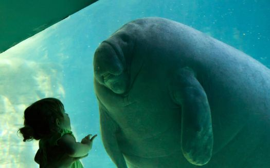 Fancy meeting you here! Manatee and girl