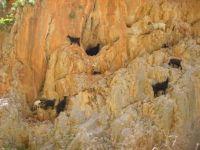 Crete goats