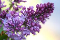 lilac-buds-and-blooms-resized-for-blog