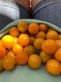 Sun Sugar Cherry tomatoes are very prolific and sweet!