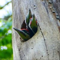 These pileated woodpecker nestlings are ready to fledge the nesting cavity in this dead tree.