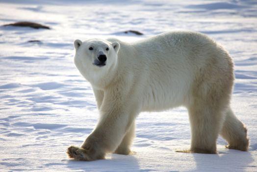 World Most Dangerous Animals -  Polar Bears