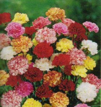 DOUBLE CARNATIONS