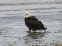 Wet bald eagle in Alaska