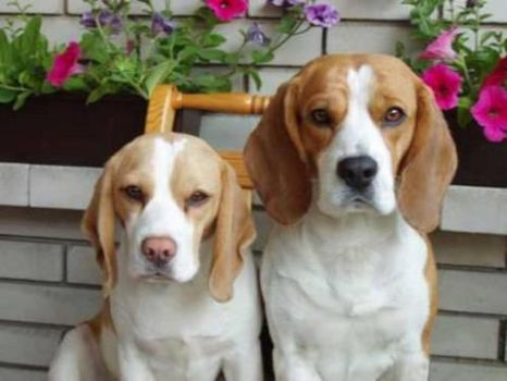 Beagles...CUTE!