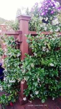 White Jasmine and Purple Petunias