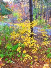 Young maple trees turned a brilliant yellow.