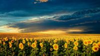 sunflower horizon