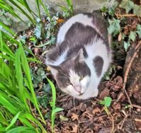 6 - Schuster is - really - a dark grey and white cat - after rambling around to help us plant - here he is - just dusty!