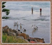 Pelicans waiting for rewards from the fishermen at The Entrance. NSW.