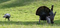 Theme birds Wild Turkeys