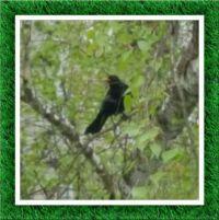 Kos - samec - na blízkém stromě / Blackbird - male - on a nearby tree