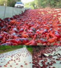 image073 red crab migration - Australia
