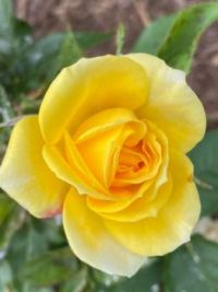 One perfect yellow rose by Elaine Englert