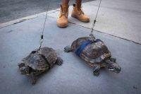 Turtle_walk