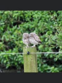 Little owls in Whitby