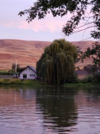 Weeping Willow on the Yakima River