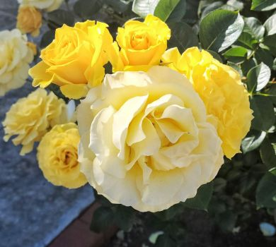 Yellow Rose Cluster